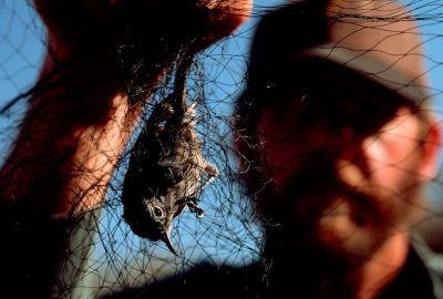 Photo: A biologist removes an endangered California gnatcatcher from mist netting near Fullerton, CA.