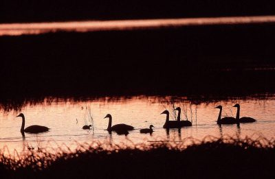 Photo: Swans at the Merced National Wildlife Refuge, California.
