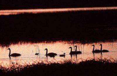 Photo: Swans at the Merced National Wildlife Refuge, California.