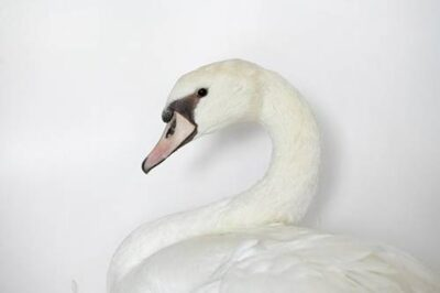 Picture of a domestic mute swan (Cygnus olor).