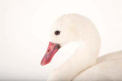 A Coscoroba swan (Coscoroba coscoroba) at the Gladys Porter Zoo in Brownsville, Texas.