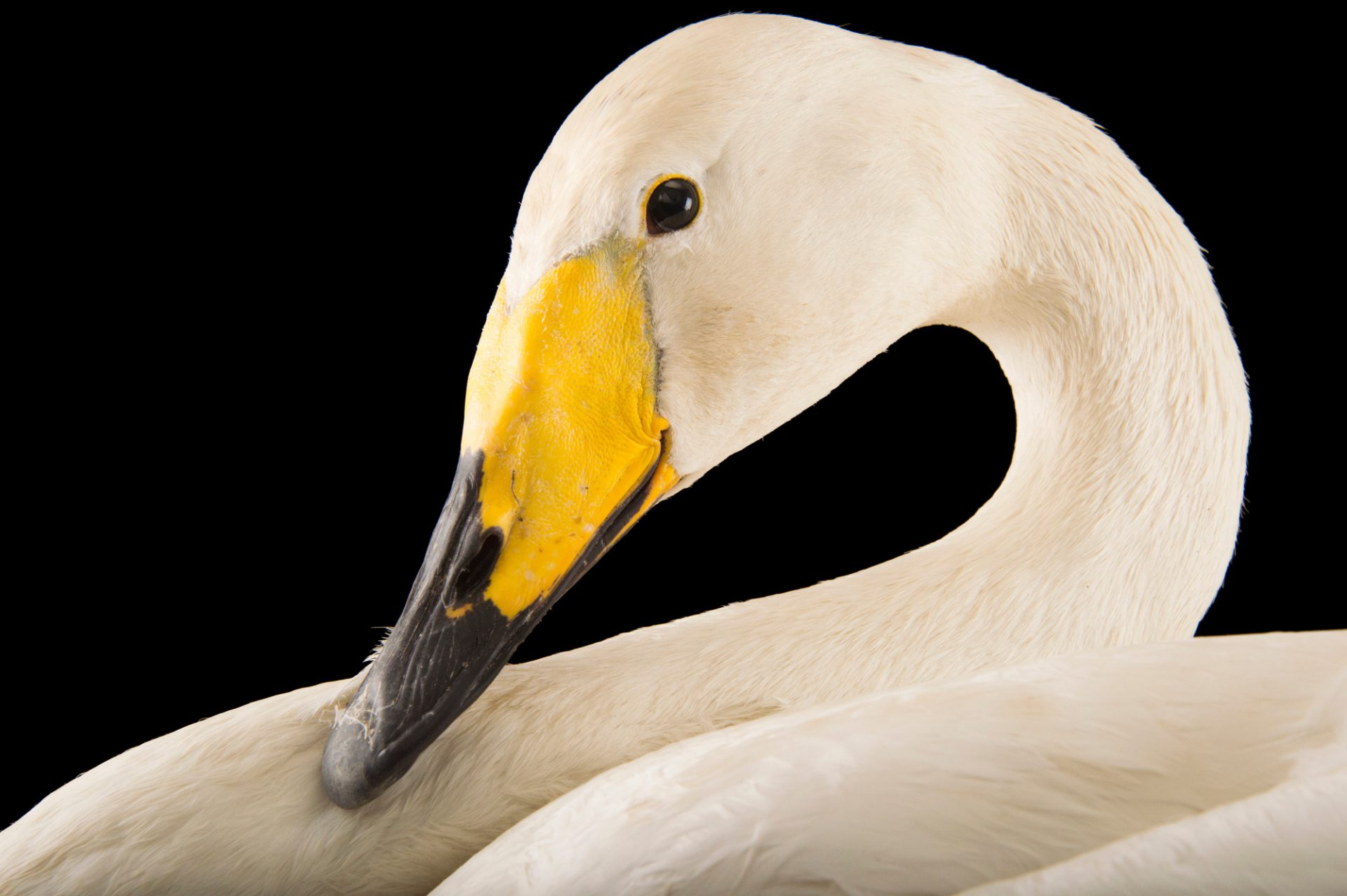 Picture of a whooper swan, Cygnus cygnus, at Sylvan Heights Bird Park.