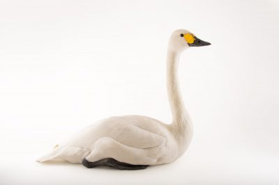 Picture of a female Bewick's swan, Cygnus columbianus bewickii, at Sylvan Heights Bird Park.