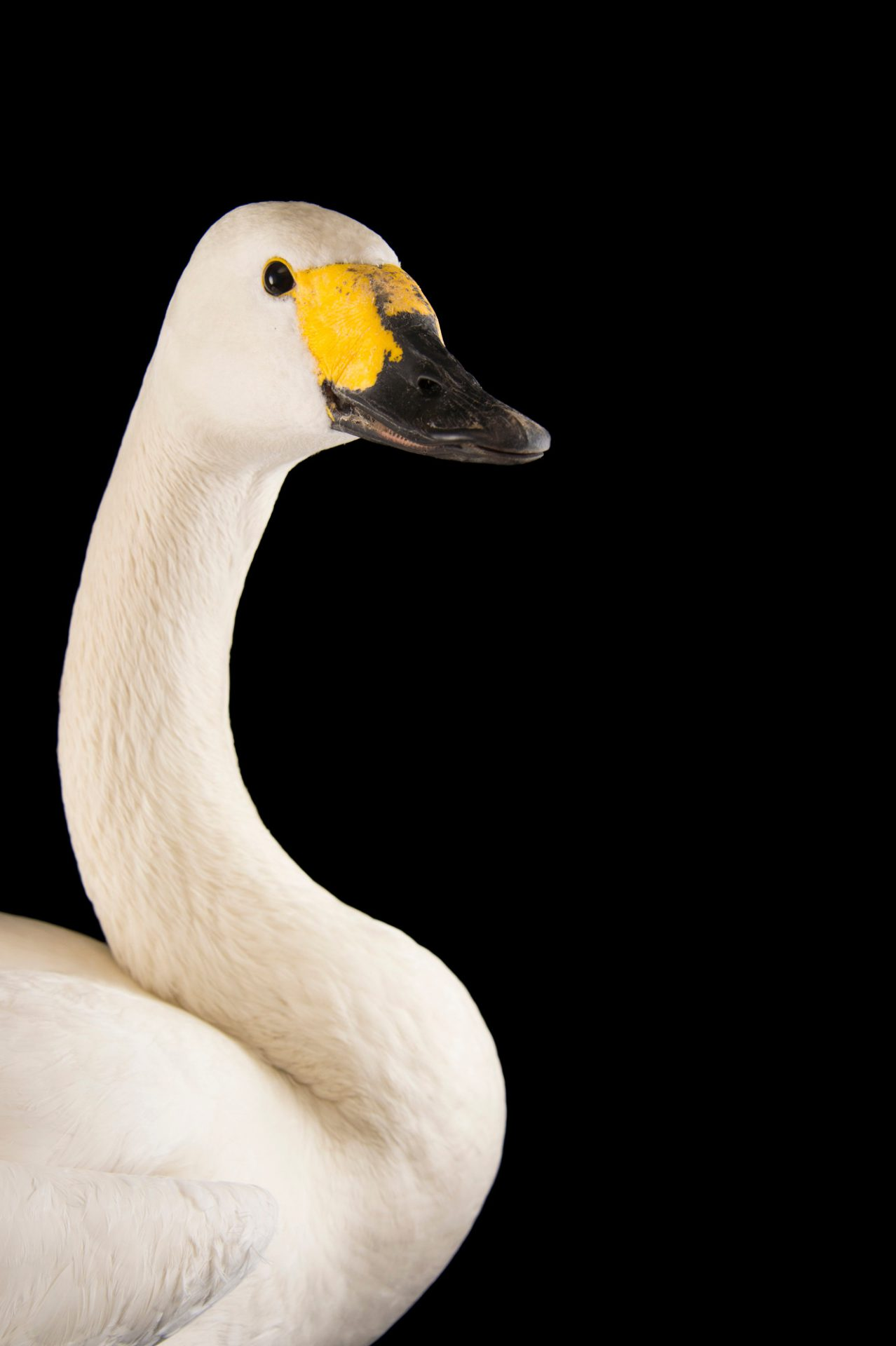 Picture of a female Bewick's swan, Cygnus columbianus bewickii, at Sylvan Heights Bird Park.