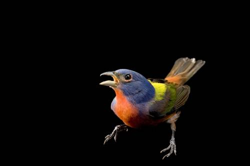 A male painted bunting (Passerina ciris) at the Brown Ranch in Texas. (IUCN: Near Threatened)