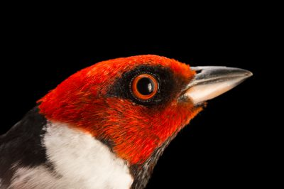 Picture of a red-capped cardinal (Paroaria gularis) at the Tulsa Zoo.