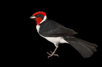 Picture of a masked cardinal (Paroaria nigrogenis) at the National Aviary breeding center in Palmar, Colombia.