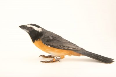 Picture of an orinoco saltater (Saltator orenocensis) at the National Aviary breeding center in Palmar, Colombia.