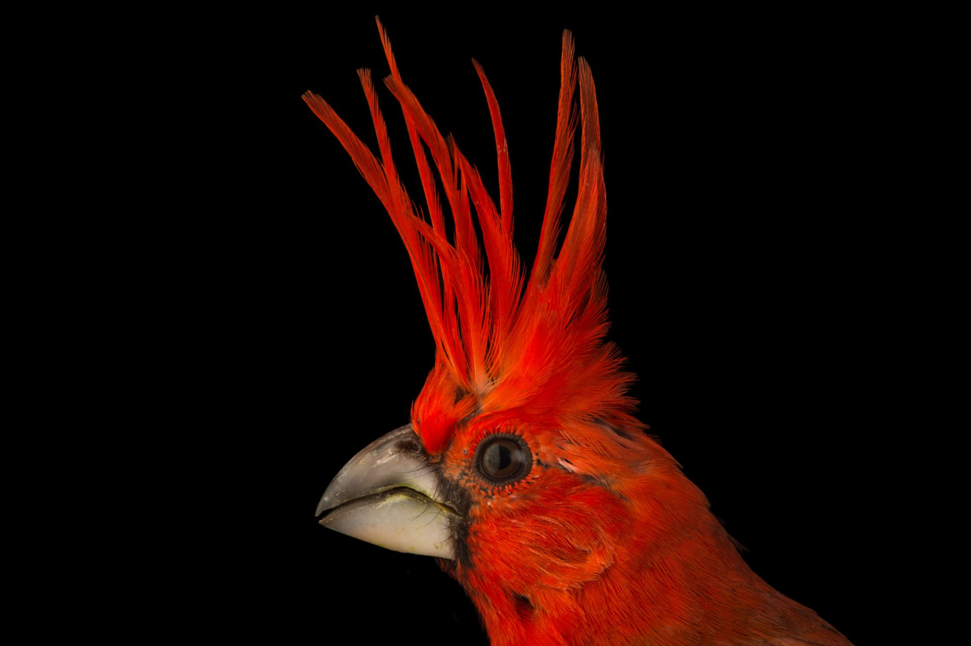 Picture of a vermilion cardinal (Cardinalis phoeniceus) at the National Aviary of Colombia.
