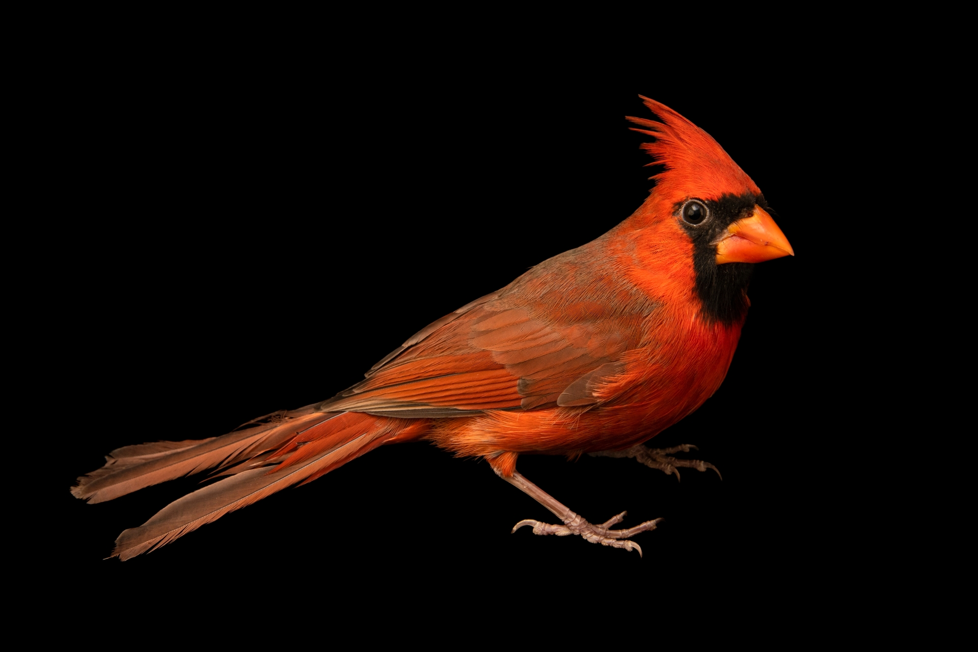 Photo: A male Northern cardinal (Cardinalis cardinalis cardinalis) at the Carolina Waterfowl Rescue.