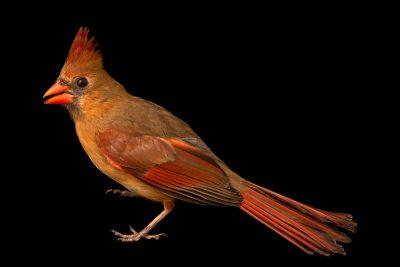 Photo: A female Northern cardinal (Cardinalis cardinalis cardinalis) at the Carolina Waterfowl Rescue.