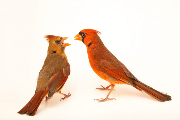 Photo: A male and female Northern cardinal (Cardinalis cardinalis cardinalis) at the Carolina Waterfowl Rescue.