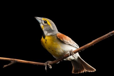 Photo: Dickcissel (Spiza americana) wild caught by biologists using a mist net, near Wood River, Nebraska.