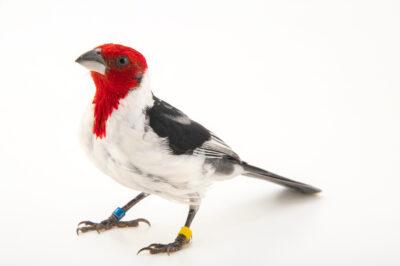 Photo: A red-cowled cardinal (Paroaria dominicana) at the Prague Zoo.