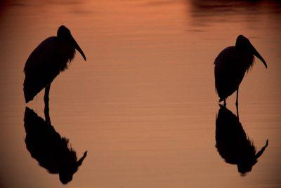 Photo: American wood storks at Ding Darling NWR near Captiva, FL.