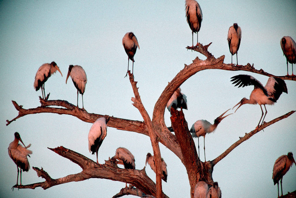 Photo: American wood storks (endangered) in the Florida Panther NWR.