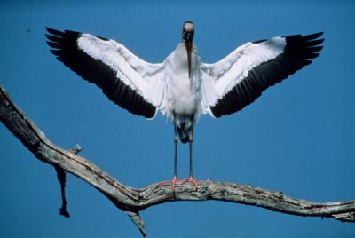 Photo: Endangered American wood stork in the Florida Panther NWR.