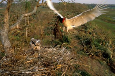 Photo: A jabiru stork brings soft grasses to line its nest, oblivious to the destruction brought to the rest of the forest by bulldozers.