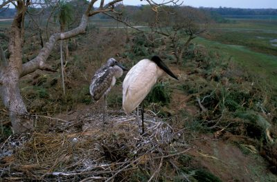 Photo: In the Pantanal, an adult jabiru stork tends to it's chick in a nest that was ravaged by bulldozers a week earlier.