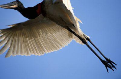 Photo: A jabiru stork in flight in the Pantanal, one of the world's largest wetlands, in Brazil.