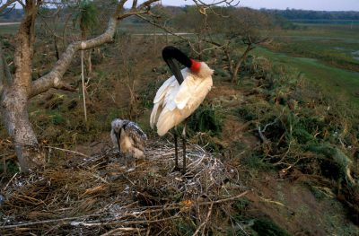 Photo: A jabiru stork cleans its feathers in the Pantanal, one of the world's largest wetlands, in Brazil.
