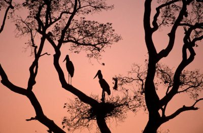 Photo: Jabiru storks and their nest in the Pantanal, one of the world's largest wetlands, in Brazil.