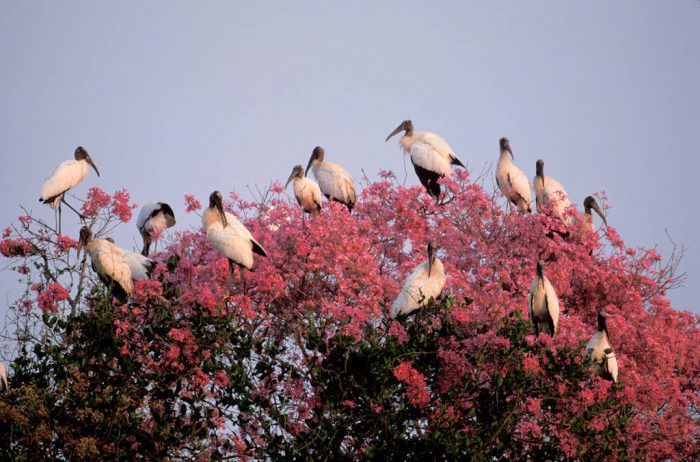 Photo: Endangered wood storks in a tree in the Pantanal, Brazil.