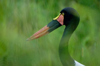 Photo: A saddle billed stork at the Sedgwick County Zoo.