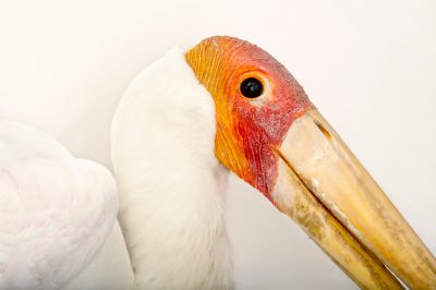 Picture of a yellow-billed stork (Mycteria ibis) at The Living Desert in Palm Desert, California.