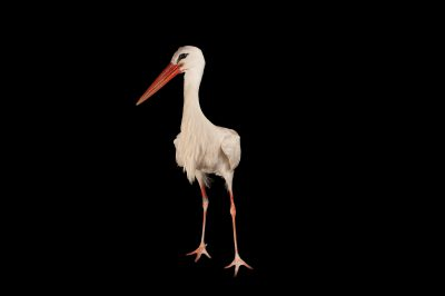 European white stork (Ciconia ciconia ciconia) at the Lincoln Children's Zoo.