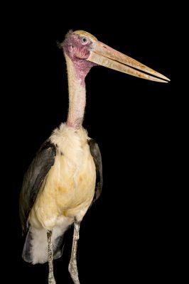A vulnerable lesser adjutant stork (Leptoptilos javanicus) named Sammi at the Cincinnati Zoo.