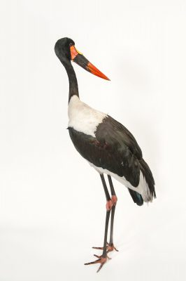 A saddle billed stork (Ephippiorhynchus senegalensis) at the Gladys Porter Zoo in Brownsville, Texas.