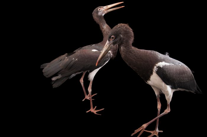 Two Abdim's storks (Ciconia abdimii) at the Columbus Zoo.