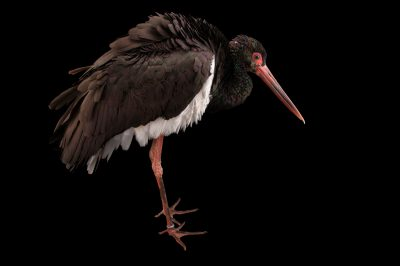 A black stork (Ciconia nigra) at the Fort Wayne Children's Zoo.