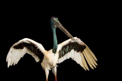 Photo: Black-necked stork (Ephippiorhynchus asiaticus) at Kamla Nehru Zoological Garden, Ahmedabad, India.