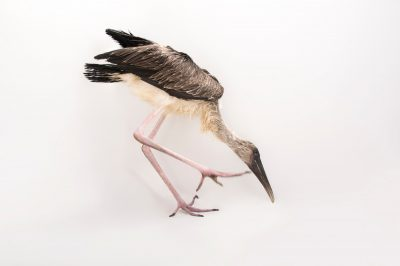 Picture of a one-month-old yellow-billed Stork (Mycteria ibis) at the Lowry Park Zoo.