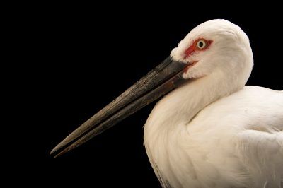 Picture of a federally endangered and endangered (IUCN) Oriental stork (Ciconia boyciana) at the Suzhou Zoo.