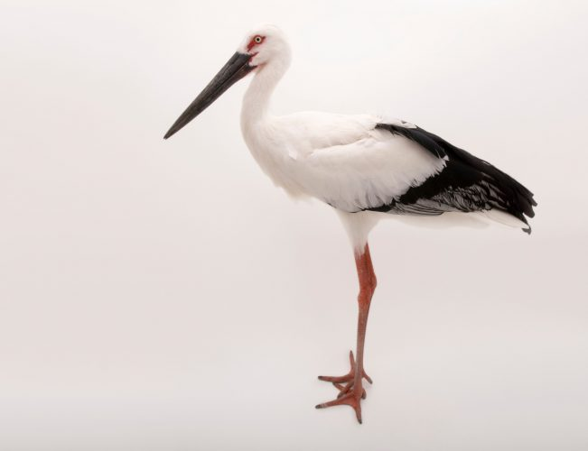 Picture of an endangered (IUCN) and federally endangered Oriental stork (Ciconia boyciana) at the Suzhou Zoo.