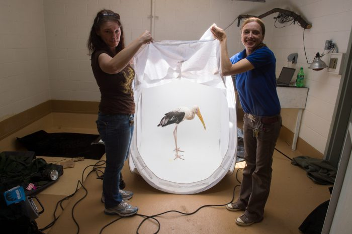 Picture of Louis, a 2-year-old painted stork (Mycteria leucocephala), prepares for a photo shoot.
