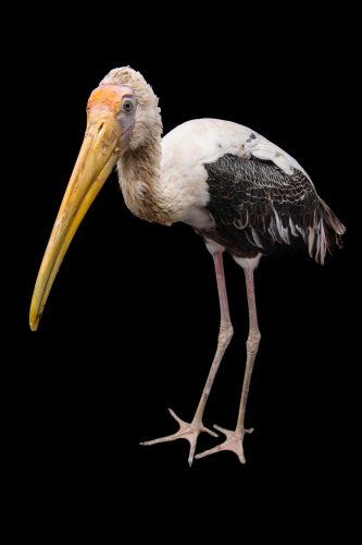 Picture of Louis, a 2-year-old painted stork (Mycteria leucocephala), at Tracy Aviary.