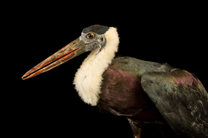 Photo: A vulnerable woolly-necked stork (Ciconia episcopus) at Kamla Nehru Zoological Garden, Ahmedabad, India.