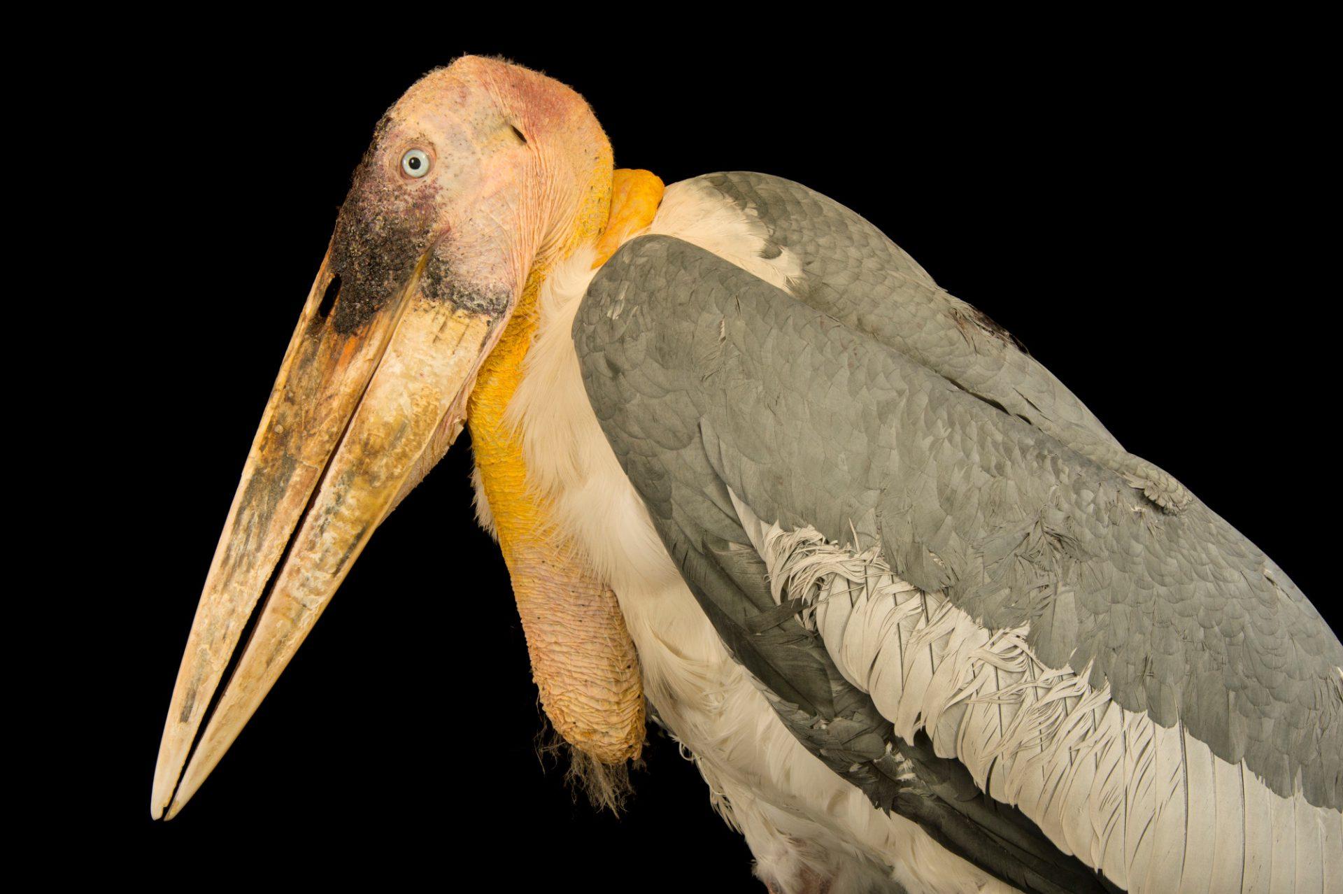 Photo: An endangered greater adjutant stork (Leptoptilos dubius) at Kamla Nehru Zoological Garden, Ahmedabad, India.