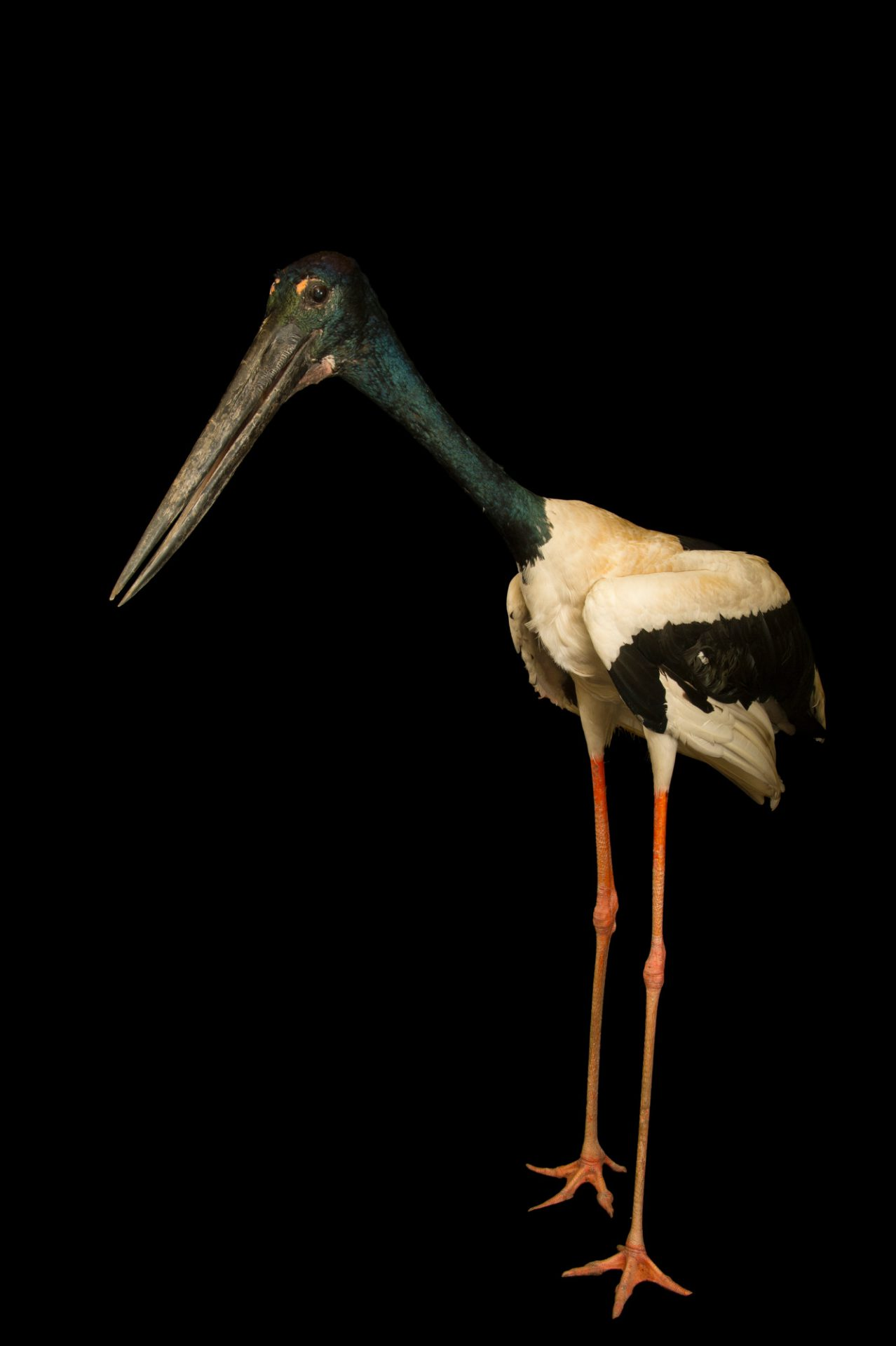 Black-necked stork (Ephippiorhynchus asiaticus) at Kamla Nehru Zoological Garden, Ahmedabad, India.
