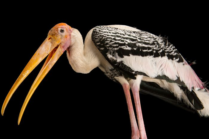 Picture of a painted stork (Mycteria leucocephala) at Kamla Nehru Zoological Garden, Ahmedabad, India.