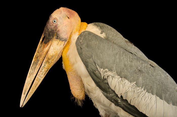 Photo: Greater adujutant stork (Leptoptilos dubius) at Kamla Nehru Zoological Garden, Ahmedabad, India.