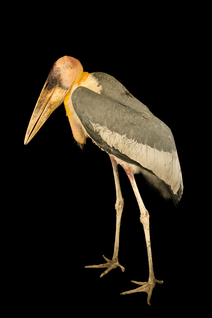 Photo: An endangered greater adjutant stork (Leptoptilos dubius) at Kamla Nehru Zoological Garden, Ahmedabad, India.