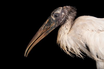 A federally endangered wood stork (Mycteria Americana) at the Sedgwick County Zoo in Wichita, Kansas.