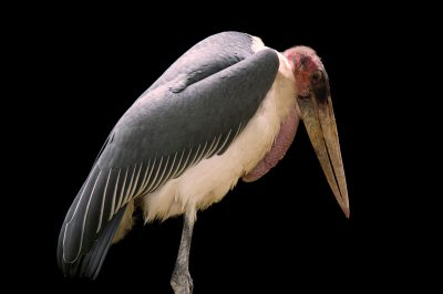 A marabou stork (Leptoptilos crumenifer) at the St. Augustine Alligator Farm.