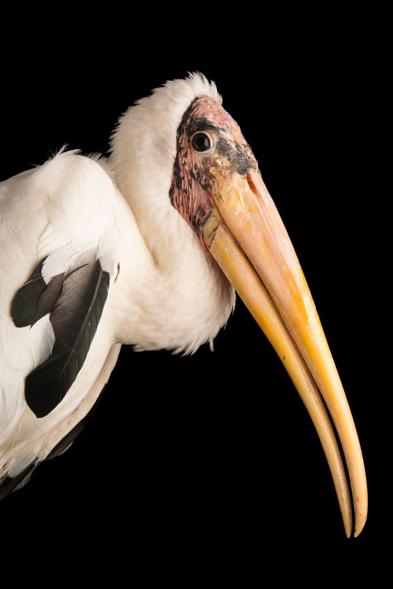 Photo: An endangered milky stork (Mycteria cinerea) at Penang Bird Park.
