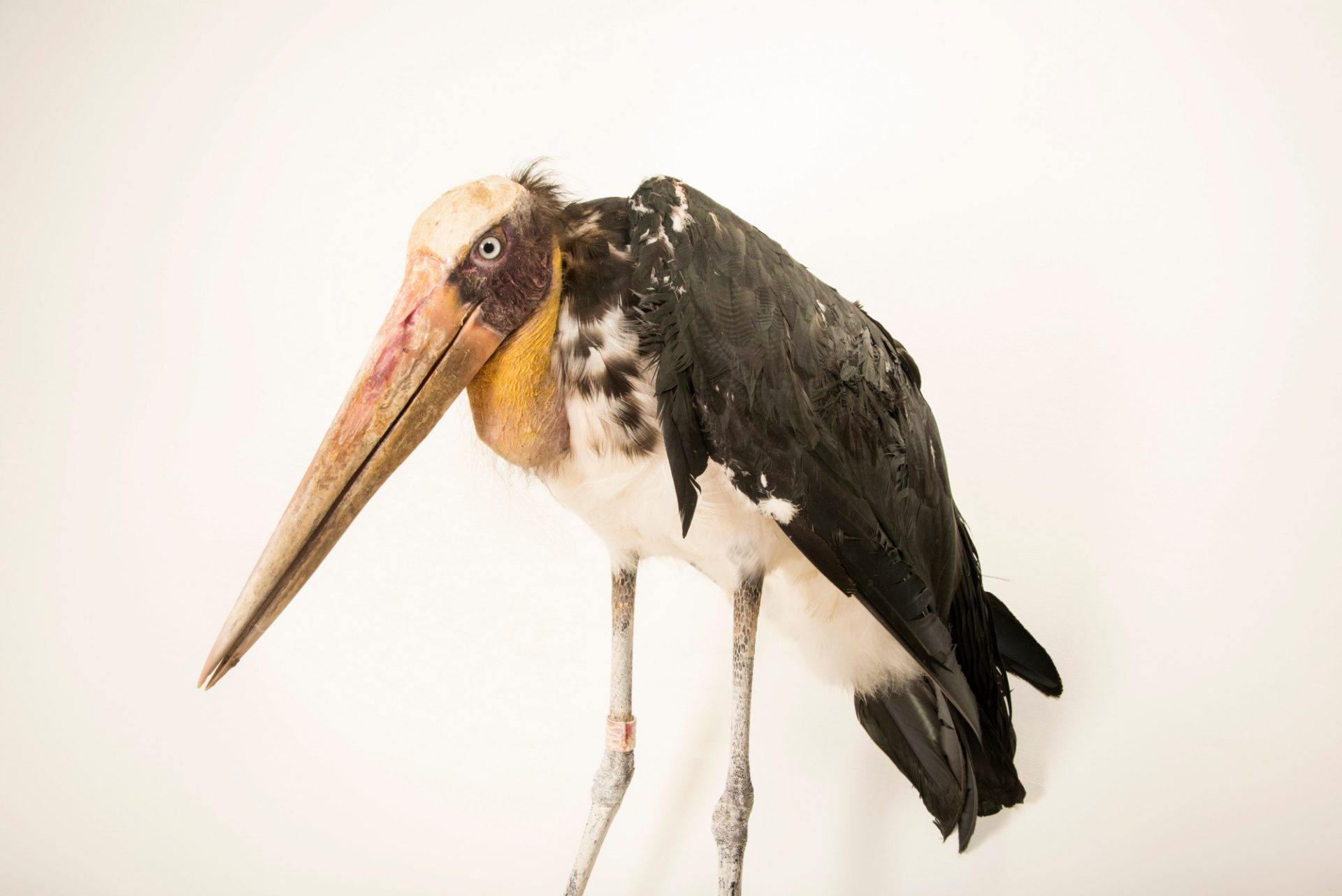 Photo: Lesser adjutant stork (Leptoptilos javanicus) at Angkor Center for Conservation of Biodiversity (ACCB). This species is listed as Vulnerable on IUCN.